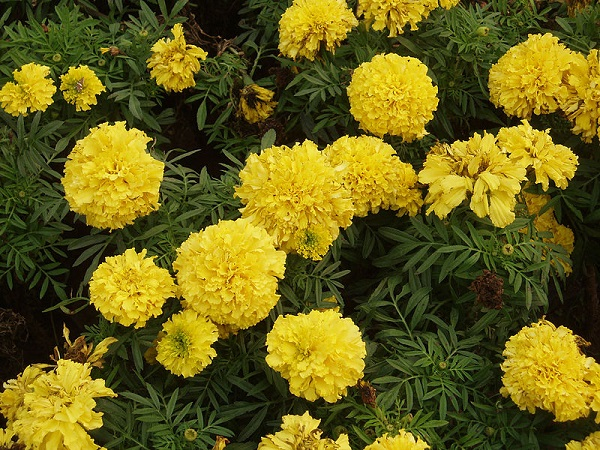 Marigold flower - Gainda ka Phool - گیندا
